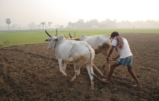 Ploughing in West Bengal